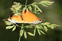 Least Skipper - Ancyloxypha numitor, Merrimac Farm WMA, Aden, Virginia (judygva) Tags: