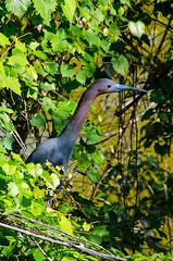 Little Blue Heron Breeding Color DSC_0530 (John Dreyer) Tags: breeding littleblueheron heron birding birdwatching nikon nikond5100 copyright2017johnjdreyer photocreditjohnjdreyer