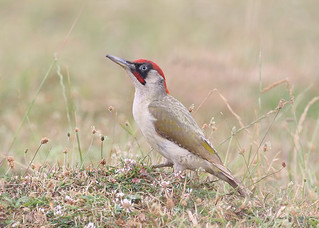 Green Woodpecker ~ Picus viridis