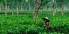 Tea Garden. Sylhet. Bangladesh (R Rabi) Tags: teagarden bangladeshteagarden srimongal sylhet