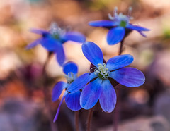 Hepatica americana (Shannonsong) Tags: blue wildflowers nature plants spring ranunculaceae hepaticaamericana buttercupfamily roundlobedhepatica liver herb blossom bloom