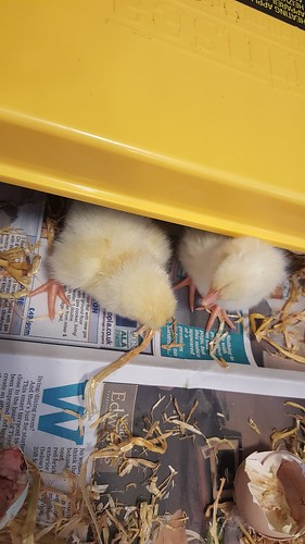 """Chicks in Other Class • <a style=""""font-size:0.8em;"""" href=""""http://www.flickr.com/photos/132522852@N04/33960968993/"""" target=""""_blank"""">View on Flickr</a>"""