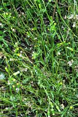 Senecio vulgaris L. - old-man-in-the-Spring