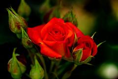 Miniature Rose : ミニバラ (Dakiny) Tags: 2017 spring may japan kanagawa yokohama aoba ichigao outdoor nature field park plant tree flower flora rose macro bokeh nikon d7000 nikkor 50mm f18 afsnikkor50mmf18g nikonafsnikkor50mmf18g nikonclubit