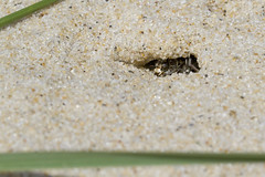 Tiger Beetle in its Burrow (brucetopher) Tags: tigerbeetle tiger beetle cicindela beach beachtigerbeetle insect bug critter creature tiny beauty beautiful pattern elytra maculations shell camouflage fast tease frustrating elusive animal outdoor lair burrow hide hiding ambush