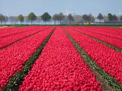 Tulip fields (EvelienNL) Tags: flower flowers tulip tulips field flowerfield flowerbed bulbfield bloemen tulpen bloemenveld bloemenvelden tulpenveld tulpenvelden bollenveld bollenvelden colourful red rood rode dutch holland netherlands flevoland flevopolder landscape landschap perspective