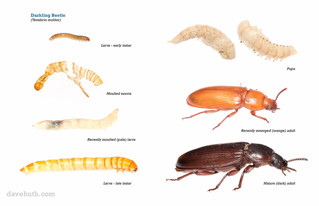 research paper darkling beetle Research paper darkling beetle - spend a little time and money to get the dissertation you could not even dream about top-ranked and affordable essay to ease your.