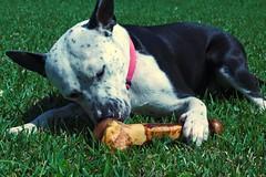 Calli (JF Naquin) Tags: infocus highquality pet dog pitbullmix