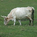 The Wild White Cattle of Chillingham