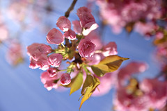 Blossoms (-Simulacrum-) Tags: blossoms flowers spring nature sunligth sunrays tree nikon nikond5300 dof depthoffield sigma 170500mmf28 beautiful creative