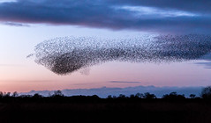 Starling murmuration (davidwbeverley) Tags: 2017 england uk year yorkshire starling murmuration