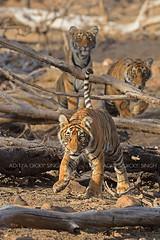 Tiger cubs (dickysingh) Tags: tiger ranthambore ranthambhorenationalpark india wild wildlife