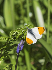 Orange-tip Butterfly (sivaD nhoJ) Tags: butterfly orangetip orangetipbutterfly anthochariscardamines lepidoptera pieridae insect invertebrate arthropod animal wildlife nature 2017