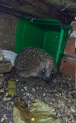 Managed to get my phone through the gap to the Hedgehog cafe last night and snapped a shot of my nightly visitor enjoying a Mealworm supper 😍 (Sharon B Mott) Tags: hedgehog nocturnal animal nature inthegarden gardenvisitor april