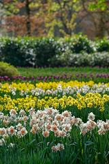 Primavera (marypink) Tags: parcokeukenhof lisse olanda thenetherlands holland flowers spring primavera nikond800 70300mmf456