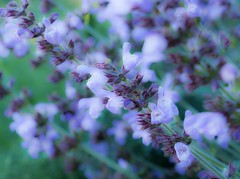 Wellness (jocsdellum) Tags: salvia jardín garden flors flowers flores primavera spring wellness hierbasmedicinales blue blau azul health salud macro