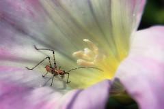 Life in a morning glory (TJ Gehling) Tags: insect orthoptera tettigoniidae katydid katydidnymph plant flower solanales convolvulaceae morningglory fasebindweed pacificmorningglory pacificfalsebindweed calystegia calystegiapurpurata canyontrailpark elcerrito