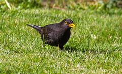 Blackbird (celia.mulhearn) Tags: blackbird somerset