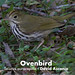 Ovenbird, Seiurus aurocapilla