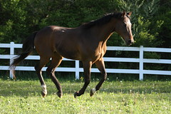 IMG_3152 (thinktank8326) Tags: horse equine trakehner canter gallop equinephotography mare gelding warmblood ottb