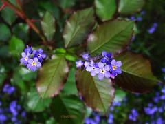 Spring in blue... (Szemeredi Photos/ clevernails) Tags: spring flower leave blue fieldforgetmenot herbaceous closeup macro garden bokeh rose composition