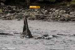 Killer Whales, Shetland, 2017 (Crieffy.) Tags: killer whale orca shetland
