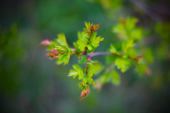 baby leaves (iwona.kilichowska) Tags: leaves leaf nature plant flora closeup dof depthoffield colours green spring colorful composition colour bokeh blur