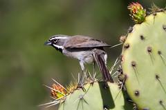 Black-throated Sparrow (Eric Gofreed) Tags: arizona blackthroatedsparrow sparrow yavapaicountgy