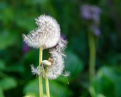 Hanging on -  DSC_0688 [Flickr Explore - 11 May 2017] (John Hickey - fotosbyjohnh) Tags: 2017 may2017 cabinteelypark cabinteely dublin ireland naturalbeauty nature seed dandelionseed dandelion