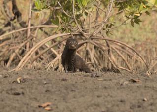 Marsh Mongoose - Atilax paludinosus