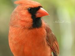 Cardinal male (NaturewithMar) Tags: northern cardinal bird male macro spring 2017 nikoncoolpix b700 7dwf close up ngc npc