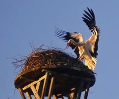 2017-03-10 Storch im Anflug (wulfwalker) Tags: storch stork anflug vogel fliegen flügelschlag landung