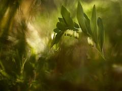 Poligonatum odoratum y una dramática atmósfera (luisotespi68) Tags: drama dramático atmósfera flores plantas flora poligonatum sello de salomón vegetación naturaleza olympus penf autochinon chinon 50mm f14 fotodiox pro fondo desenfoque bokeh flares contraluz