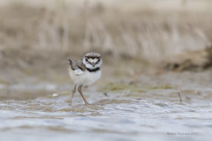 Sweet Surprise (Amy Hudechek Photography) Tags: killdeer chick baby young bird lake nature wildlife colorado spring amyhudechek