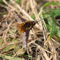 Another Bee-fly! (RiverCrouchWalker) Tags: darkedgedbeefly bombyliusmajor bombyliidae april 2017 spring chelmerandblackwaternavigation littlebaddow essex insect invertebrate