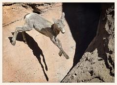 Desert Bighorn Lamb (gauchocat) Tags: arizonasonoradesertmuseum tucsonarizona