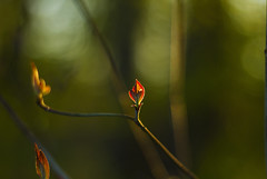 Spring Flame (Matt Champlin) Tags: louispasteur chance life random nature bloom blooming bud budding leaf leaves macro 50mm canon 2017 dogwood spring springtime landscape peace peaceful tranquil flame quotes uplifting green woods woodland tree dogwoods
