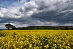 Front pluvieux en approche (Excalibur67) Tags: nikon d750 sigma 1224f4556iidghsm paysage landscape nature nuages ciel cloud sky colza jaune yellow campagne alsace vosgesdunord