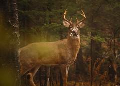 (Paul Mackay Photographie) Tags: timing saintsauveur sauvage color foggy fog woods tree arbres bois matin morning d70s dslr nikon laurentides cour backyard animale animal chevreuil deer