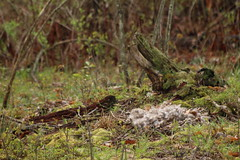 Goose Nest (Salamanderdance) Tags: canada goose nest down spring log land bird nesting nature outdoors feathers