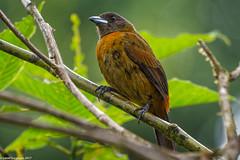 Passerini's Tanager female (Ramphocelus passerinii), Costa Rica (Lassetjus photo) Tags: heredia costarica cr coth5