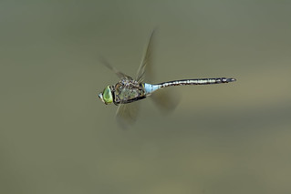 Anax parthenope flying