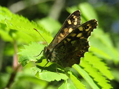 Speckled Wood Butterfly, taken at Wigan Flashes (stevencarruthers93) Tags: wigan wiganflashes greenheart wildlife nature photography wildlifephotography naturephotography butterfly