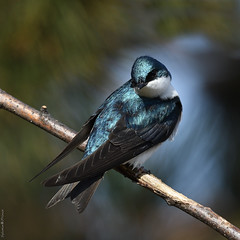 Hirondelle bicolore / Tree swallow (Sylvain Prince) Tags: tachycinetabicolor