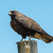 Swainson's Hawk, Dark Morph