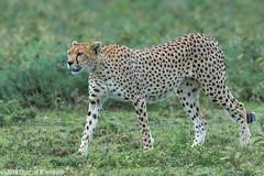 On the prowl.... (Explore 7 May 2017) (Duncan Blackburn) Tags: 2016 ndutu serengeti tanzania cheetah nikon wildlife nature cat coth5 ngc npc
