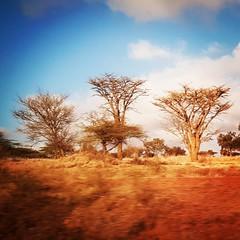Savannah  . #Day121 #Acacia #ThornTree. (c) Marlene C. Francia 2017 . . . . . .. . . . . . . . . . . . . . . . . . . #Kajiado #Roadtrip #AfricanSafari #everydayafrica #everydaykenya #ColorsOfAfrica #Vignettes #SliceOfLife