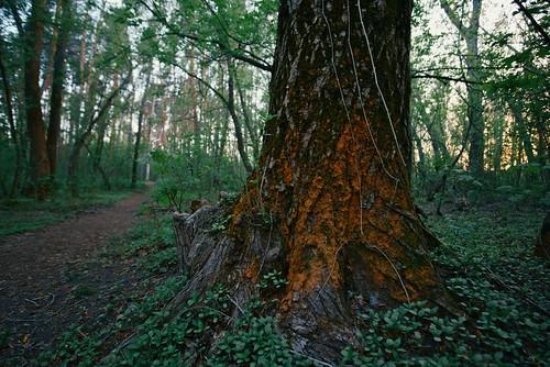 Старое дерево / Old tree ©  spoilt.exile