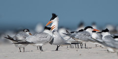 Royal Terns (stephaniepluscht) Tags: alabama 2017 tern terns bon secour national wildlife refuge beach mate mating ritual royal