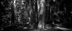 Shaded sun rays (ShimmeringGrains) Tags: zero612f mediumformat bw kodaktmaxdev14 svartvitt filmphotography enchantedforest pinhole mellanformat pinetree scanned trollskog 6x12 fujiacros100 skog scannad shimmeringgrains fujineopan100acros graso 120film panoramic pinholephotography film sweden tmaxdev14 forest ©marieahlén zeroimage analog blackandwhite monochrome dreamforest